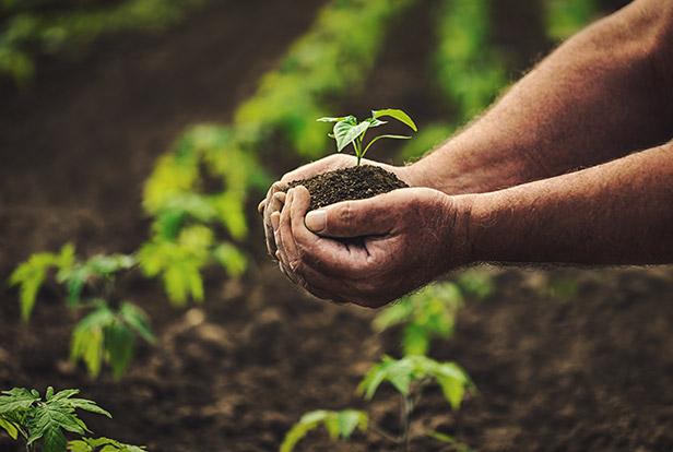 Männer Hände auf einem Feld halten eine kleine Pflanze